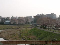 Cherry Blossom #7