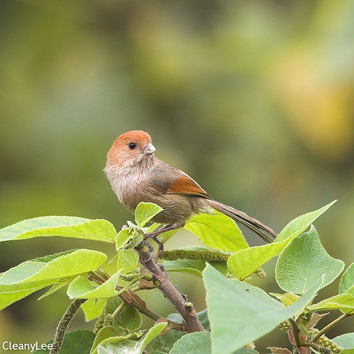 0098粉紅鸚嘴 Vinous-throated Parrotbill