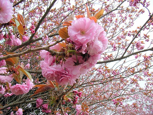 Double flowering cherry tree.