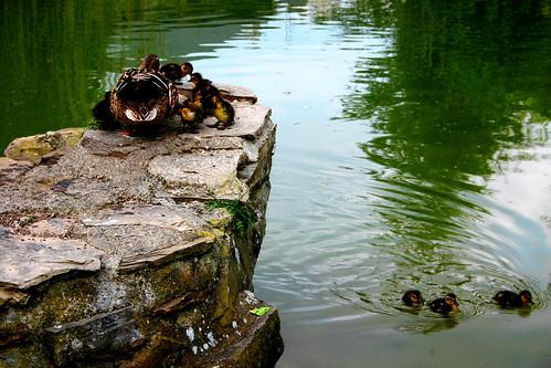 les petits canards et mère!