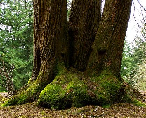 Tabor Tree Trio