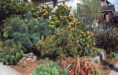leucospermum.jpg