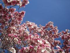 magnolias far