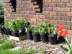 plants ready to go in the ground