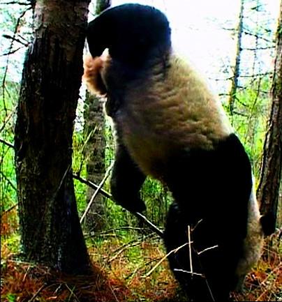 panda peeing