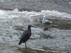 White-faced Heron & sea gull