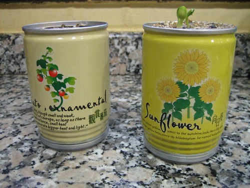 Flowers in a can. The sunflower already sprouted!