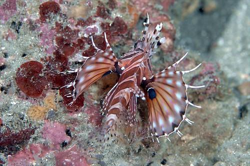 侏儒獅子魚
