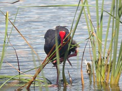 Purple Gallinule, Quinta do Lago (Portugal), 15-Apr-06