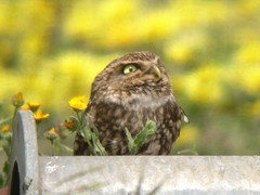 Little Owl, Pancas (Portugal), 19-Apr-06