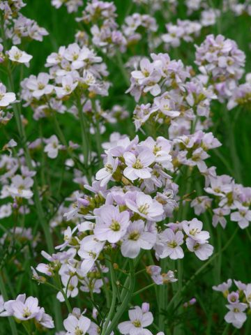 Cuckoo Flower Lady's Smock001