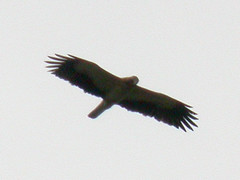 Booted Eagle, Montemor-o-Novo (Portugal), 21-Apr-06