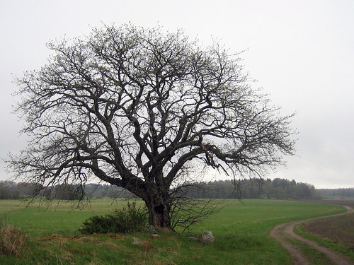 That Old Tree (gray and misty)