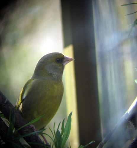 greenfinch2