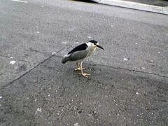Oakland Bird