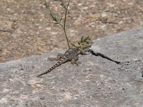 Gecko in Perge
