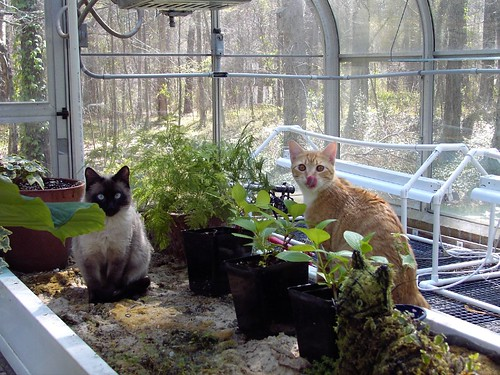 Blue and Sweetie cats in greenhouse