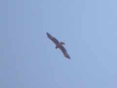 Booted Eagle, Castro Marim (Portugal), 30-Apr-06