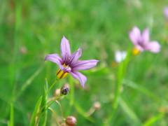 庭石菖 NiWaZeKiShou / blue-eyed grass