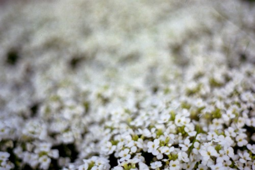 blurry white flowers