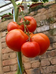 ch - cv ripe tomatoes