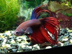 Tail Biting Bettas - Fish Care