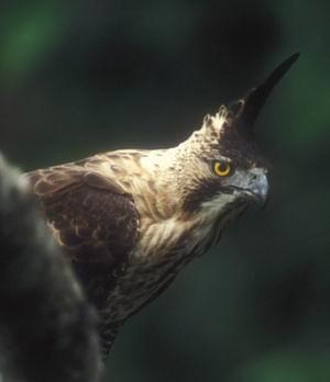 SUKABUMI, RABU - Populasi elang jawa di Taman Nasional Gunung Halimun