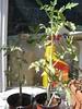 Tomato 17th July 06