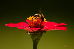 Bee on Flower photo by udithawix
