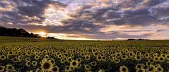 Setting Sun Flowers photo by zuni48