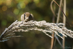 Sparrow Resting On Feather Grass