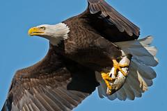American Bald Eagle photo by Brian E Kushner