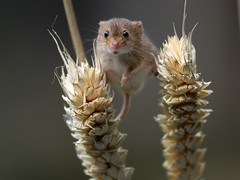 Harvest Mouse - British Wildlife Centre photo by mikehook51