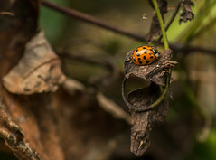Ladybird looking for a place to  hibernate (Explored) photo by GPC- photos