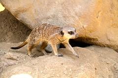 Suricat, Los Angeles Zoo, CA, USA. photo by SETIANI LEON