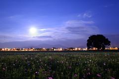 新社花海 2014  Moon light flower in Taiwan Taichung . 台灣台中 DSC_6222 photo by Ming - chun ( very busy )