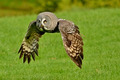 Great Grey Owl photo by Paula J James