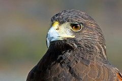 Harris's Hawk (Captive) photo by Brian E Kushner
