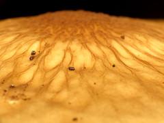 Deep Root Mushroom Cap Detail