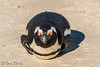 295 - Afrique du Sud - Octobre 2016 - Boulders Beach - 380A7349