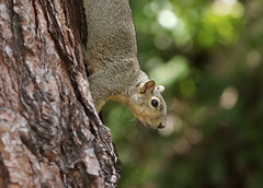 UCLA Squirrel