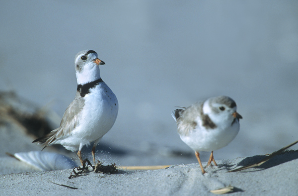 Piping Plovers flirting
