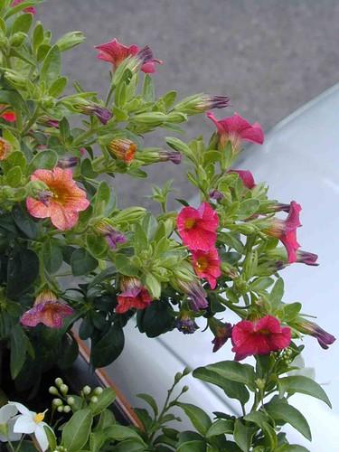 Mom's flowers2