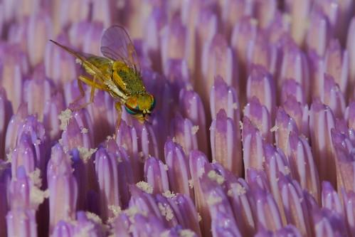 Fly on Artichoke Cropped
