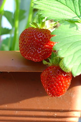 Beautiful Strawberries!
