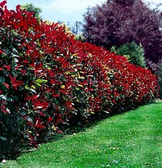 photinia_robusta_large