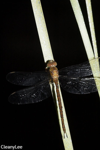 13156浡鋏晏蜓 Gynacantha bayadera 雌未熟?