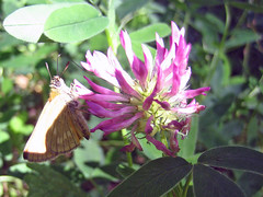 Butterfly and a flower