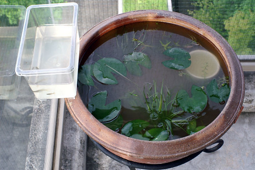 guppy and water lily bowl