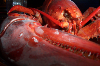Xtreme lobster closeup